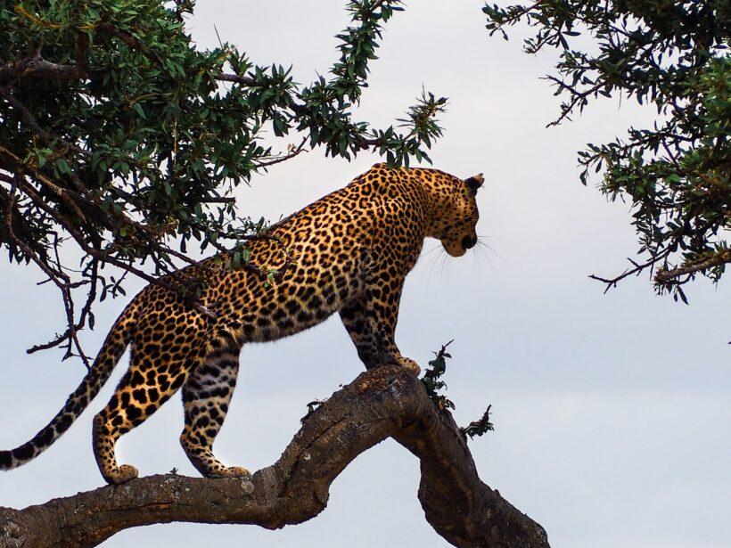 Kenya – Masai mara safari